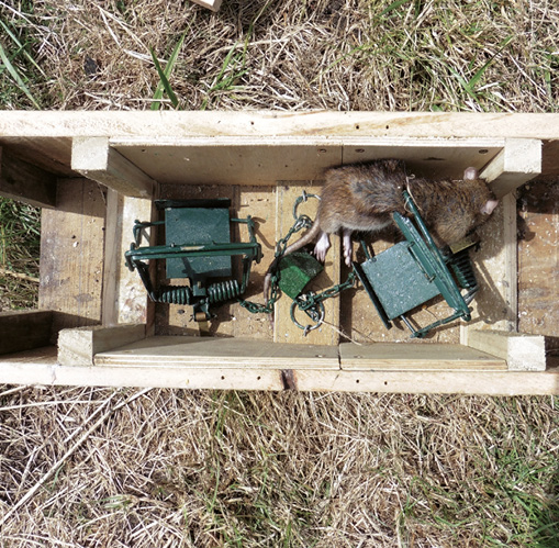 Trapping Vermin And Brexit Ducks Unlimited2019