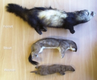 Mustelids: From the top, Ferret, Stoat, Weasel.