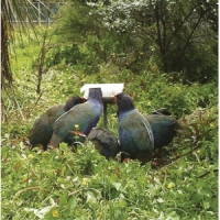 All in: A group of Takahe at a feeder used to help them settle and to enable future management requiring capture.
