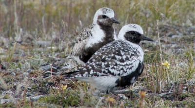 Plover pair: Distinctive and tough birds.