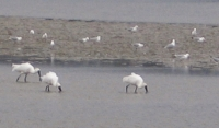 Feeding spot: Royal spoonbills around the mud flats just down from Waitangi boat ramp, Bay of Islands.