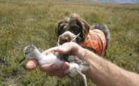 Kakī chick: Found thanks to Jazz the conservation dog