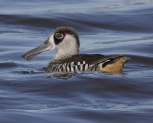 the pink-eared duck