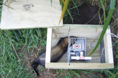 A weasel, the main catch at Ian's Te Horo property