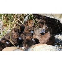 Check out the ducklings with their mother.