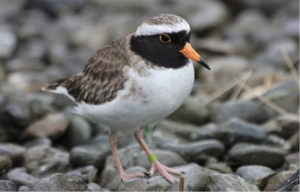A male juvenile shore plover.