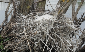 Bundles of fluff: Royal Spoonbill chicks in nest at Boggy Pond, southern Wairarapa.