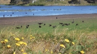 Tableland wetland: A view of the Lagoon with its abundant Black Swans, Black Winged Stilts and native flora.
