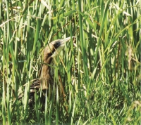 Elusive: A master of disguise – the Bittern