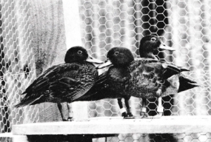Report on Operation Pateke (Brown Teal)