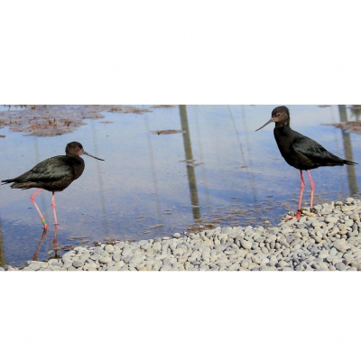 Black stilts: Breeding pair.