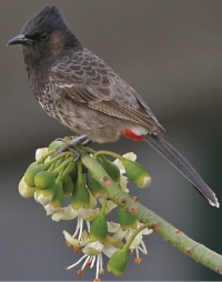 Unwanted: Red-vented bulbul
