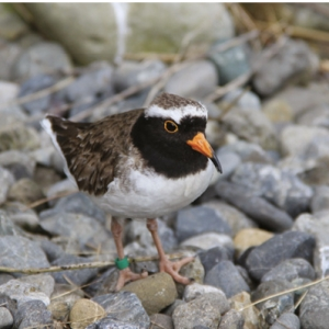 Stand out bird: Shore plover with orange bill.