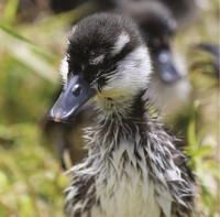 Very perky: Good start in life for a whio duckling.