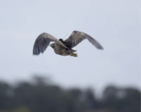 On the wing: Is this Robbie at Tootgarook Swamp near Melbourne? If not, who is it? Vin?  Coly-Lion? Another?