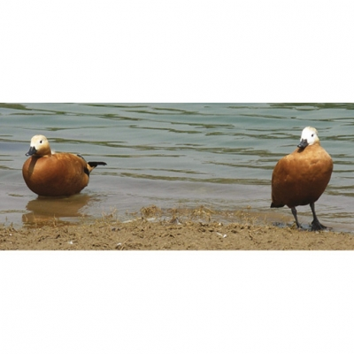 Sacred ducks: Ruddy shelduck
