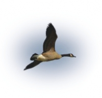 High flyers: One of the 1448 Canada Geese counted.