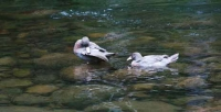 Safe haven: Whio (Blue ducks)  enjoy the peace of a bush stream.